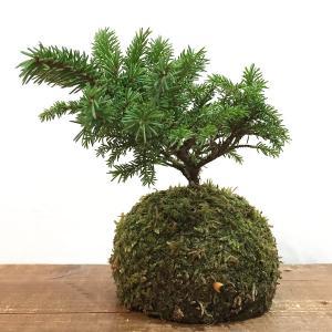 苔玉 エゾ松のコケダマ green-very