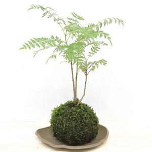 苔玉 ジャカランダのコケダマ green-very
