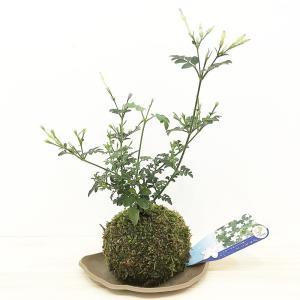 苔玉 ジャスミン (ホワイトプリンセス)のコケダマ