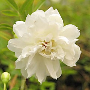 モッコウバラ 苗木 白八重 9cmポット苗 2年生苗×2ポット モッコウバラ 苗|green-very