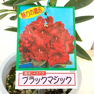シャクナゲ 苗木 ブラックマジック 21cmプラ鉢 しゃくなげ 苗 石楠花|green-very