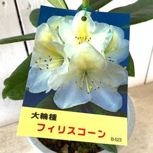 シャクナゲ 苗木 フィリスコーン 15cmプラ鉢 しゃくなげ 苗 石楠花|green-very