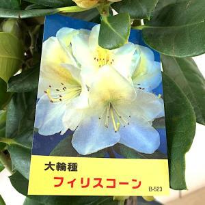 シャクナゲ 苗木 フィリスコーン 21cmプラ鉢 しゃくなげ 苗 石楠花|green-very