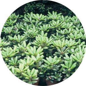 シャクナゲ 苗木 ミッドナイト 21cmプラ鉢 しゃくなげ 苗 石楠花 green-very