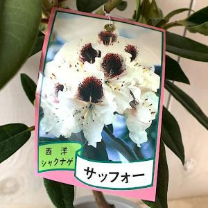 シャクナゲ 苗木 サッフォー 21cmプラ鉢 しゃくなげ 苗 石楠花|green-very