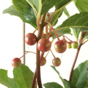 ヤブコウジ 苗木 ルージュストーン 15cmプラ鉢 やぶこうじ 苗 藪柑子|green-very