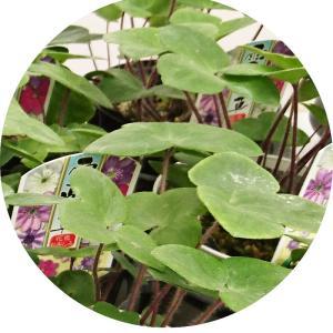 ユキワリソウ 苗木 佐渡 (赤色系) 9cmポット苗 ゆきわりそう 苗 雪割草|green-very