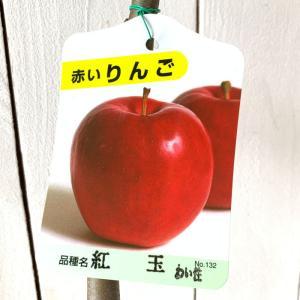 リンゴ 苗木 紅玉 13.5cmポット苗 こうぎょく (ワイ...