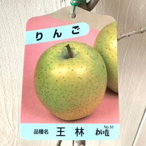 リンゴ 苗木 王林 12cmポット苗 おうりん (ワイ性) ...