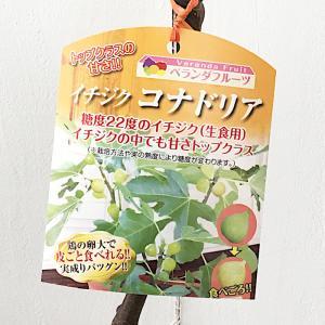 イチジク 苗木 コナドリア 13.5cmポット苗 いちじく 苗 無花果|green-very
