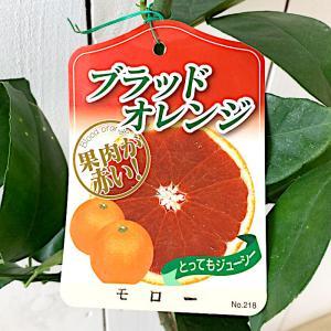 オレンジ 苗木 ブラッドオレンジ(モロー) 13.5cmポット苗 オレンジ苗