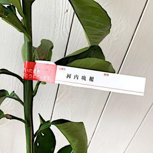 みかん 苗木 河内晩柑(かわちばんかん) 15cmポット苗 ミカン苗