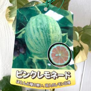 レモン 苗木 ピンクレモネード 15cmポット苗 れもん 苗 檸檬|green-very