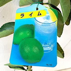 ライム 苗木 ライム 13.5cmポット苗 ライム 苗|green-very