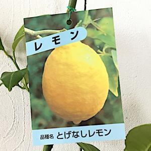 レモン 苗木 トゲなしレモン 13.5cmポット苗 れもん 苗 檸檬|green-very