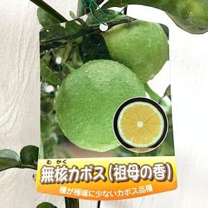 香酸柑橘 苗木 種なしカボス 15cmポット苗 祖母の香 無核カボス 香酸柑橘 苗|green-very