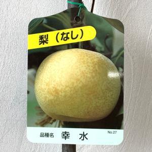 梨 苗木 幸水 12cmポット苗 こうすい なし 苗 ナシ