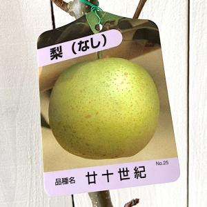 梨 苗木 廿世紀 12cmポット苗 二十世紀 にじゅっせいき...