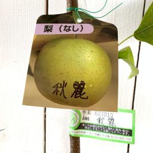 梨 苗木 秋麗 (PVP) 12cmポット苗 しゅうれい なし 苗 ナシ