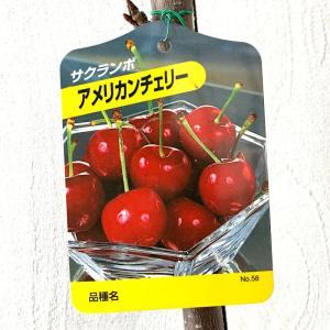 サクランボ 苗木 アメリカンチェリー 12cmポット苗 さく...