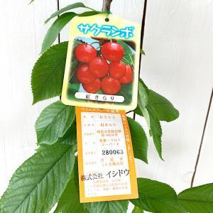 サクランボ 苗木 紅きらり (PVP) 13.5cmポット苗...