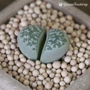 多肉植物 リトープス 青磁玉|greenfactory