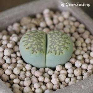 多肉植物 リトープス 緑福来玉|greenfactory