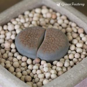 多肉植物 リトープス 巴里玉|greenfactory