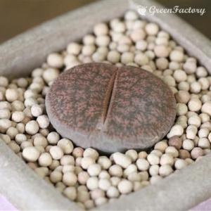 多肉植物 リトープス 紫褐紫勲玉|greenfactory