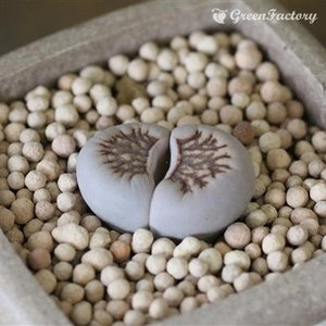 多肉植物 リトープス 菊章玉|greenfactory