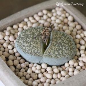 多肉植物 リトープス グレー紫勲玉|greenfactory
