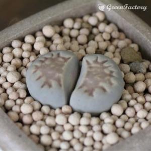 多肉植物 リトープス 紅福来玉|greenfactory