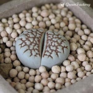 多肉植物 リトープス レティークラータ|greenfactory