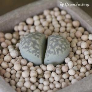 多肉植物 リトープス 繭形玉|greenfactory