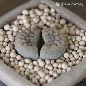 多肉植物 リトープス 招福玉|greenfactory
