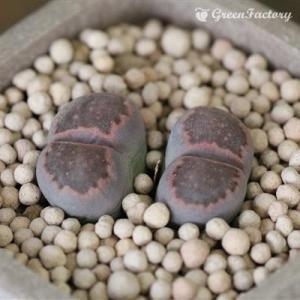 多肉植物 リトープス 赤系李夫人玉|greenfactory