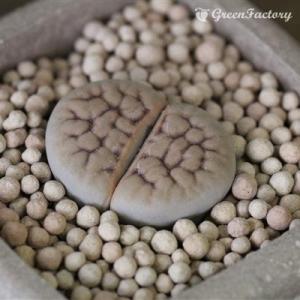 多肉植物 リトープス 春光玉|greenfactory