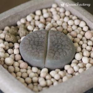 多肉植物 リトープス 露美玉|greenfactory