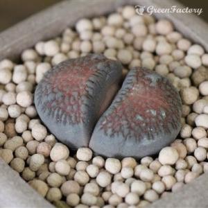 多肉植物 リトープス ウエベリー|greenfactory