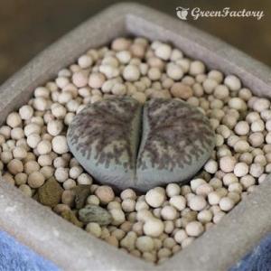 多肉植物 リトープス 珊瑚玉|greenfactory