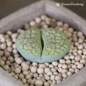 多肉植物 リトープス 黄微紋玉|greenfactory