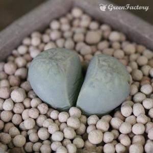 多肉植物 リトープス 菊水玉|greenfactory
