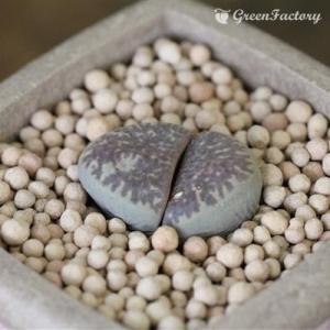 多肉植物 リトープス ノーリニアエ|greenfactory