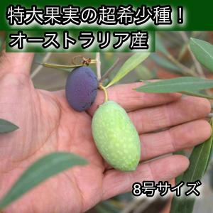 小倉園 オリーブ・ジャンボカラマタ 8号鉢|greenjamfoliageplant