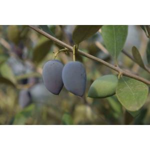 小倉園 オリーブ・カラマタ 8号鉢|greenjamfoliageplant