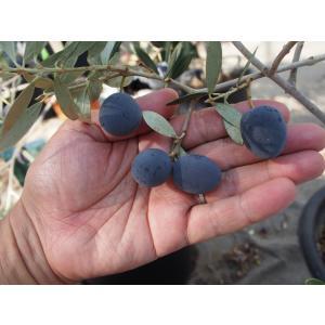 小倉園 オリーブ・カヨンヌ 8号鉢|greenjamfoliageplant