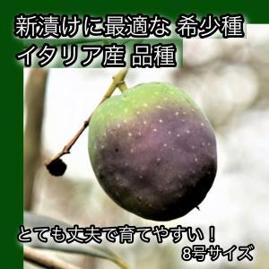 小倉園 オリーブ・イトラーナ 8号鉢|greenjamfoliageplant