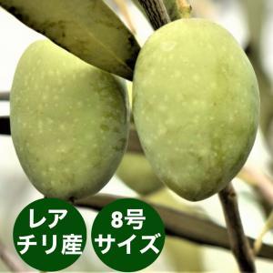 小倉園 オリーブ・アザパ 8号鉢|greenjamfoliageplant