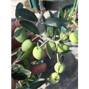 小倉園 オリーブ・セビラノ(現行流通品種) 8号鉢|greenjamfoliageplant