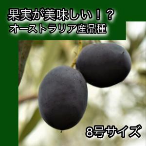 小倉園 オリーブ・ハーディーズマンモス 8号鉢|greenjamfoliageplant